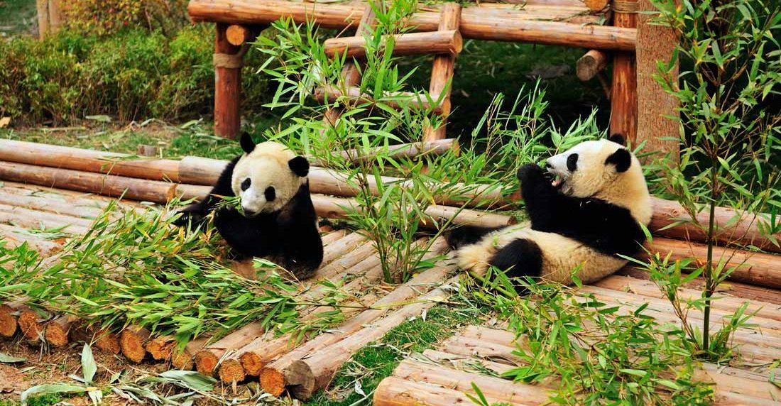 Научно-исследовательская база по разведению гигантских панд в Чэнду